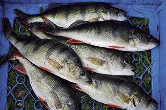 11 Fisklaget_Abborre