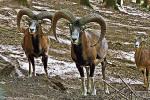 07 mouflon-4756424_1920
