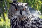 03 Eagle_Owl_IMG_9203