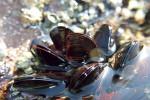 17 mussel-4867351
