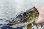 03 fish-northern-pike-recreational-fishing-89512-pxhere.com